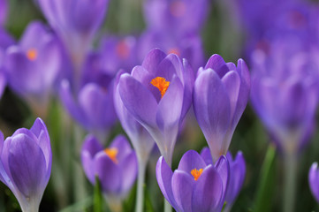 purple crocus flowers in spring garden