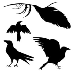 Vector silhouettes of ravens, crows, other birds
