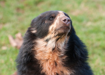 Andean Bear portrait (Tremarctos ornatus)