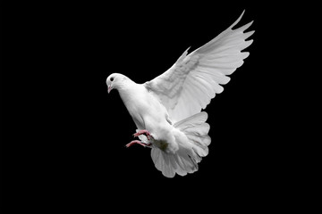 White dove isolated on black. Wall mural