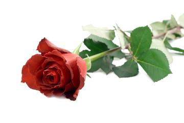 rose red petal