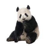 fotolia photos et vid os libres de droits de pandas. Black Bedroom Furniture Sets. Home Design Ideas