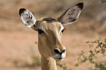 ritratto di gazzella