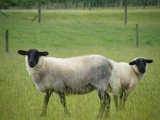 doppel Schaf