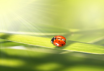 Photo sur Aluminium Coccinelles red ladybug in a green grass