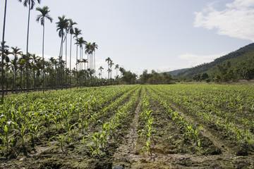 New Maize Field