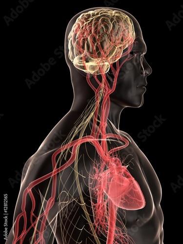 menschlicher körper mit blutkreislauf und nerven system\