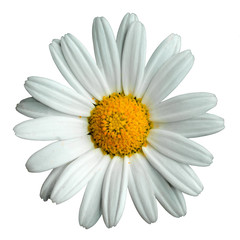 Photo sur Plexiglas Marguerites Marguerite in white background