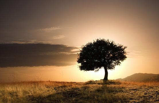 solitary oak tree in golden sunset