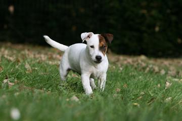 le jack russel terrier adulte en train de marcher vu de face