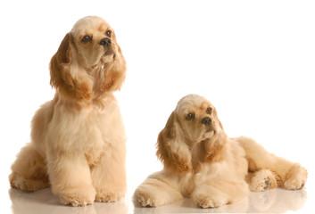 two american cocker spaniel dogs