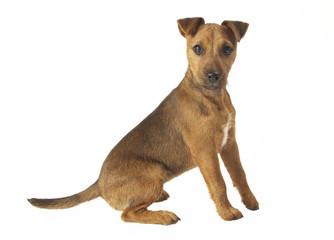 Lakeland terrier puppy.