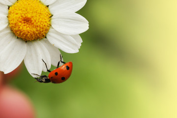 Sticker - Ladybug on daisy flower