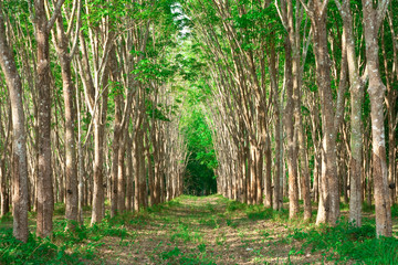 Rows of para rubber tree, Thailand.