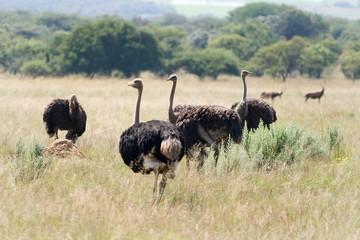 Wild Ostrich