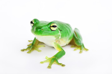 Little green tree-frog on white background