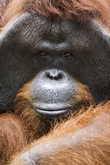Orangutan Close up Portrait