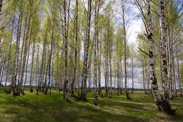 Spoed Foto op Canvas Berkbosje Birches in spring