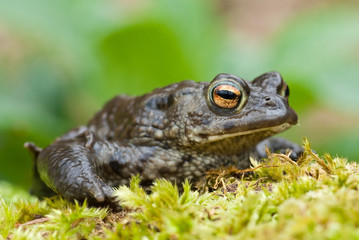 Common Toad (European)