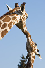 Giraffe mother and baby - love and care