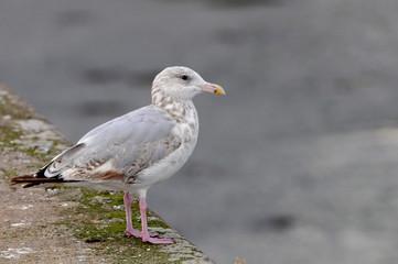 goéland argenté posé