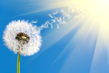 dandelion in sunlight