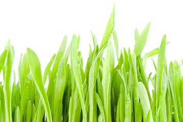 grass on white background