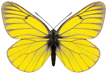 Yellow magnificent butterfly Aporia