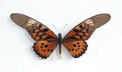 Druryia antimachus