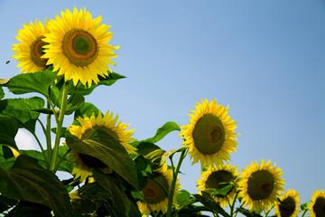 Ripe bright sunflowers growing on a farmer field