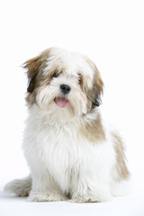 Lhasa Apso Dog Sitting Down