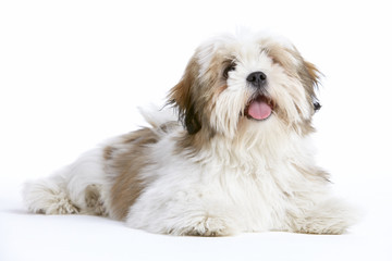 Lhasa Apso Dog Lying Down