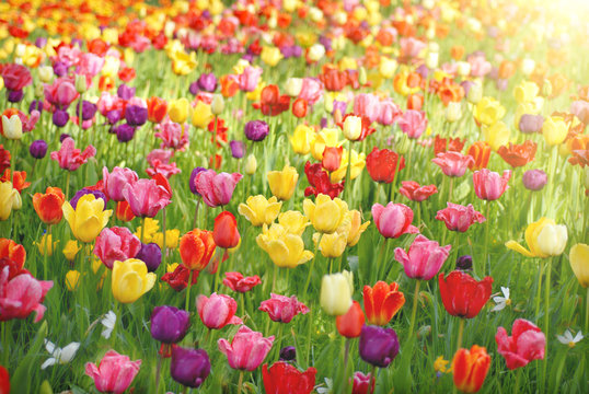Bed of tulips
