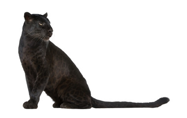 Papiers peints Panthère Black Leopard (6 years)