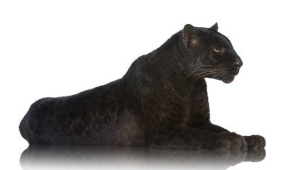Foto auf Leinwand Panther Black Leopard (6 years)