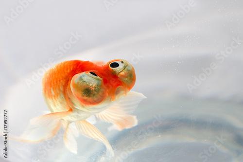 poisson rouge photo libre de droits sur la banque d 39 images image 12992777. Black Bedroom Furniture Sets. Home Design Ideas
