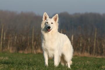 le beau berger blanc debout de face à la campagne
