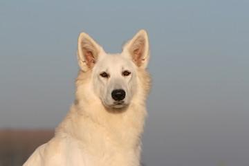 portrait du berger blanc suisse sur fond de ciel bleu