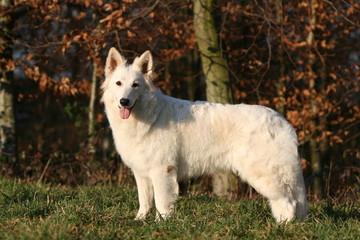 le beau berger blanc suisse de profil à la campagne