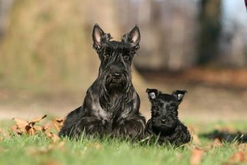 scottish terrier adulte et son chiot noir de face