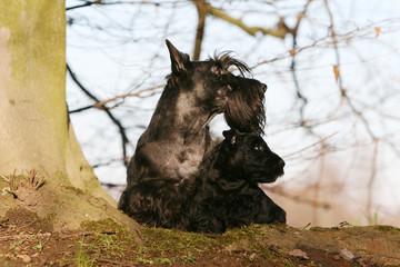 Famille de scottish terrier noirs à la campagne