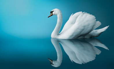 Photo sur Aluminium Cygne A Swan