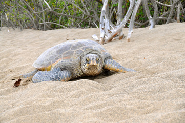 Hawaiian green sea turtle on beach