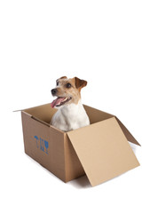 jack russell terrier in a box