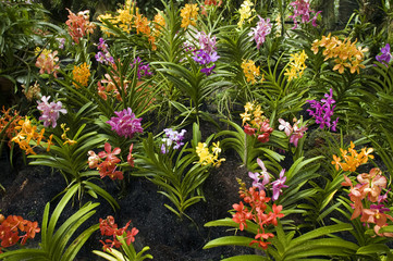 Orchids in Orchid Garden of Royal Botanical Gardens Singapore