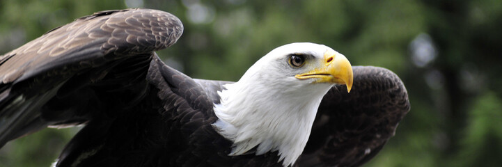 Poster Eagle Panorama of Bald Eagle readying for flight