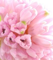 Poster de jardin Macro pink hyacinths