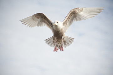 Hovering seagull