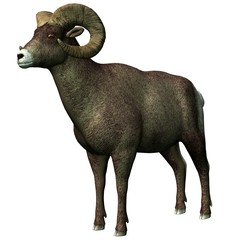 big,  horn sheep