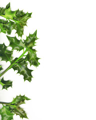 Christmas border made of green holly , isolated on white
